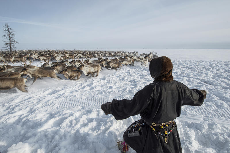 Everyday life of Russian aboriginal reindeer herders in the Arctic. Russia. Tyumen region. Yamal Nenets Autonomous District - Yamal. Priuralsky area. A team of stock images