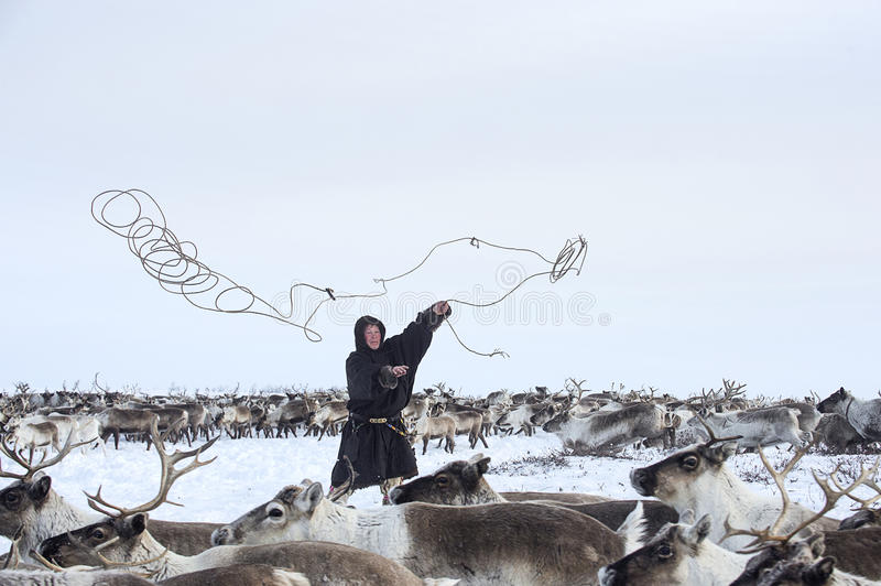 Everyday life of Russian aboriginal reindeer herders in the Arctic. Russia. Tyumen region. Yamal Nenets Autonomous District - Yamal. Priuralsky area. Reindeer stock image