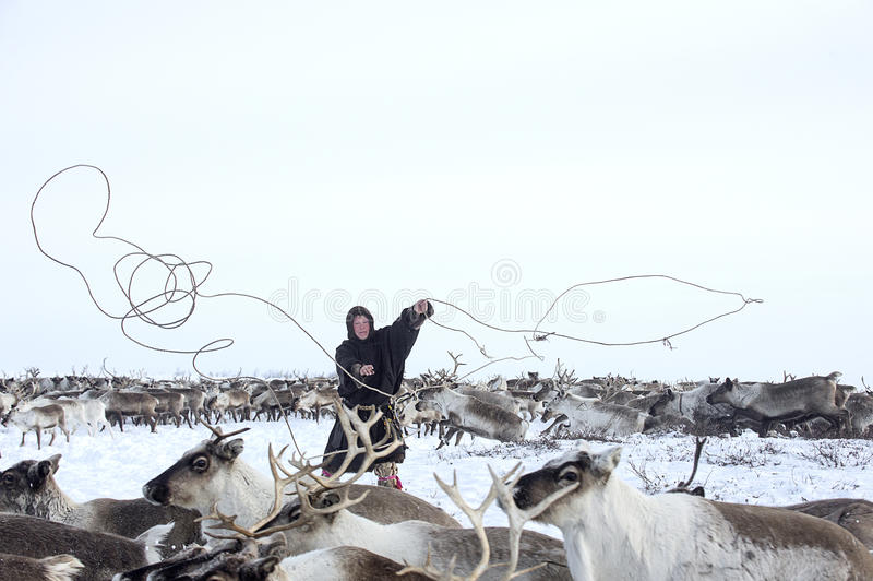 Everyday life of Russian aboriginal reindeer herders in the Arctic. Russia. Tyumen region. Yamal Nenets Autonomous District - Yamal. Priuralsky area. Reindeer stock photography