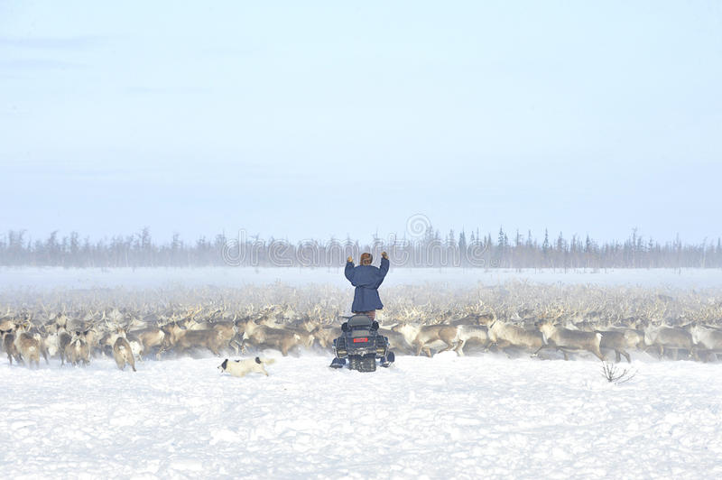 Everyday life of Russian aboriginal reindeer herders in the Arctic. Russia. Tyumen region. Yamal Nenets Autonomous District - Yamal. Priuralsky area. Reindeer royalty free stock images