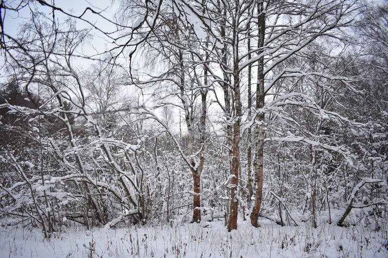 Everyone should at least once visit the winter forest to see the beauty with your own eyes. Hear the sounds of the forest with your ears and feel the joy and stock photography