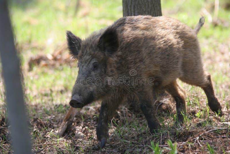 Everzwijn in bos royalty-vrije stock fotografie