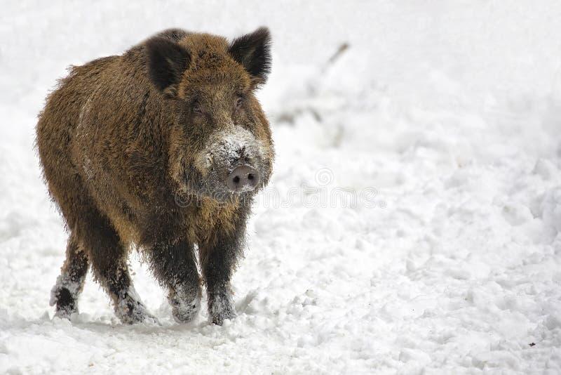 Everzwijn in de winter royalty-vrije stock afbeeldingen