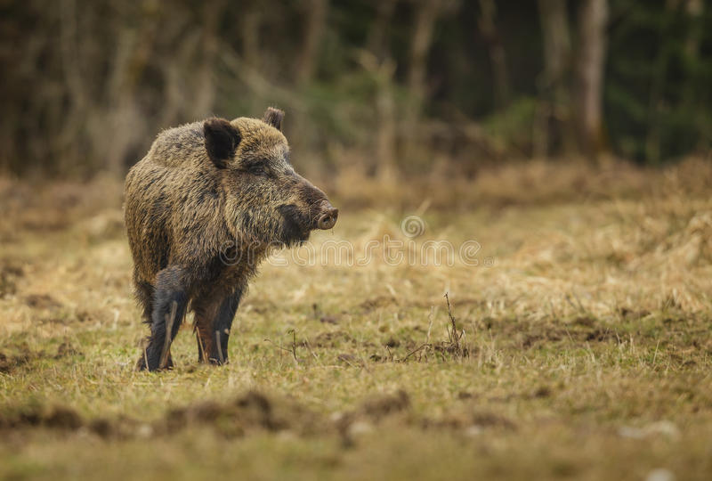 Everzwijn in de winterweide royalty-vrije stock afbeelding
