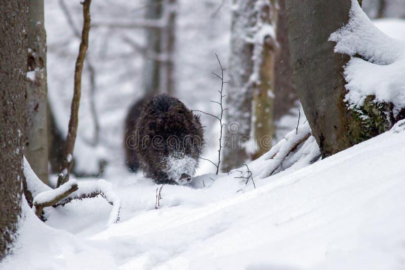 Everzwijn die bos in diepe sneeuw in de winter doornemen royalty-vrije stock fotografie