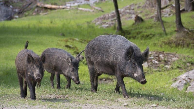 Everzwijn in het park van Canada royalty-vrije stock foto's