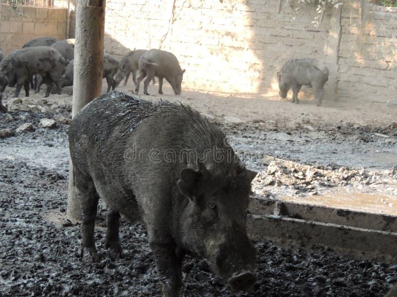 Everzwijn in landbouwbedrijf, Thailand royalty-vrije stock afbeeldingen
