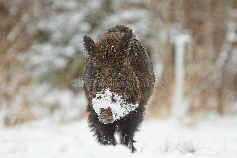 Everzwijn in sneeuw royalty-vrije stock fotografie