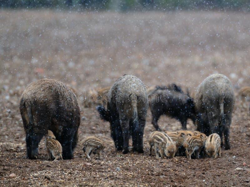 Everzwijn in sneeuw royalty-vrije stock foto