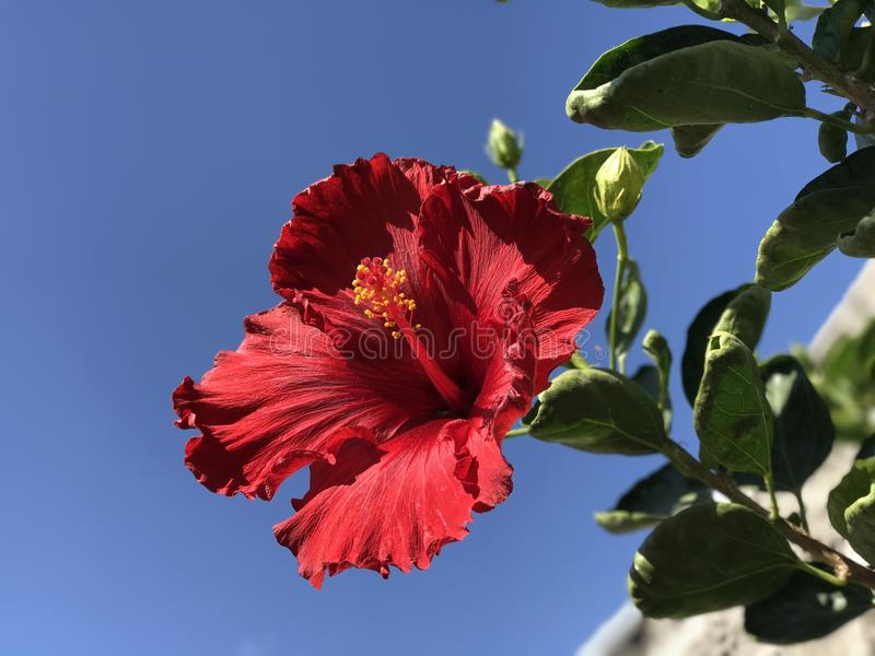 Evig blomma arkivfoton