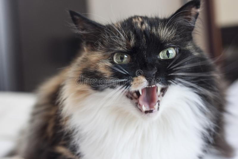 An evil beautiful tricolor cat bares its teeth. Close-up, portrait royalty free stock images
