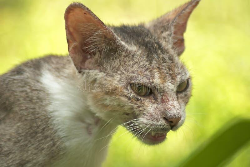 Evil cat. An image of a cat snarling stock photos