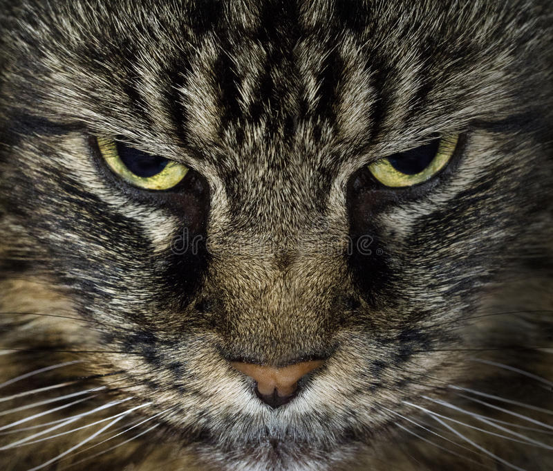Download Evil Cat stock image. Image of facial, face, looking - 23748901