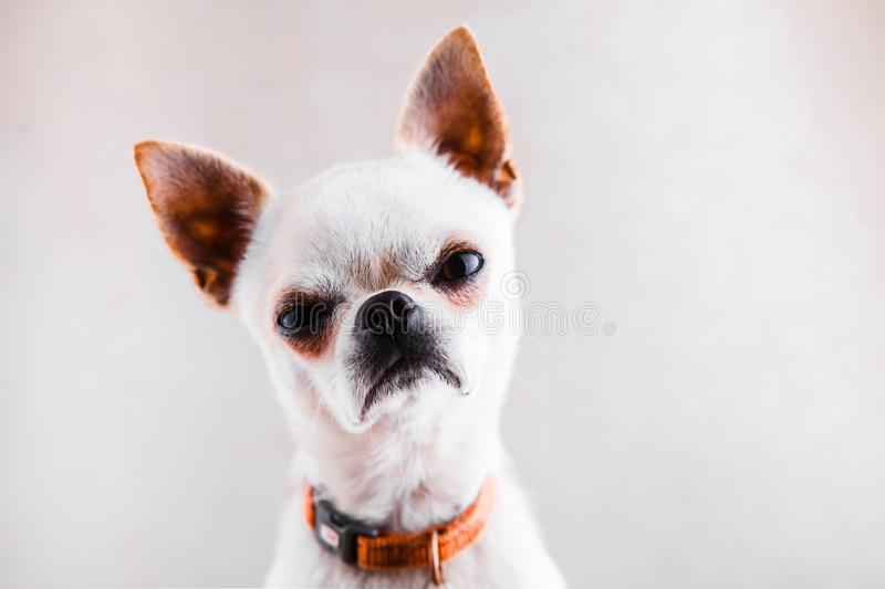 Evil Chihuahua looks into the camera with a displeased expression of the muzzle. Evil Chihuahua on a light gray background looks into the camera with a royalty free stock photo
