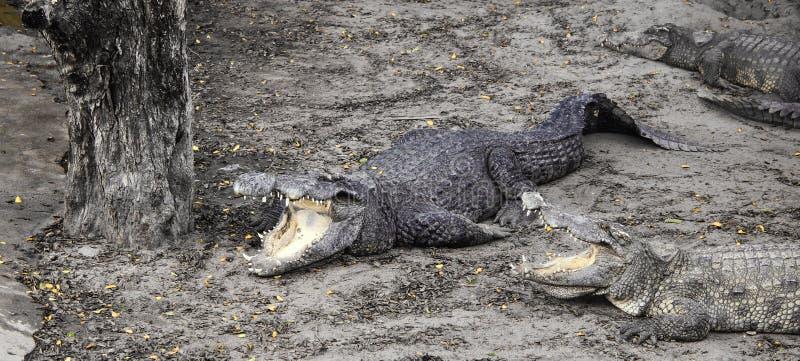 Evil crocodiles at the farm. Evil crocodiles at the private farm royalty free stock photo