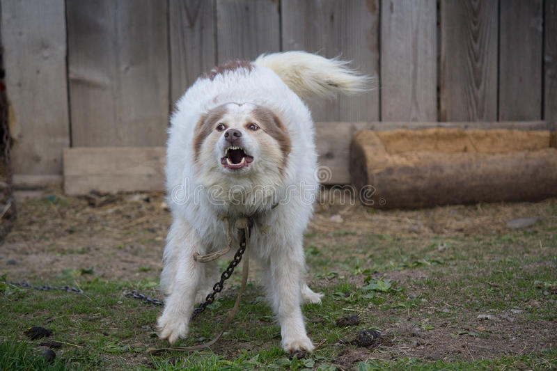 Evil domestic dog barks on chains. Pets stock photography