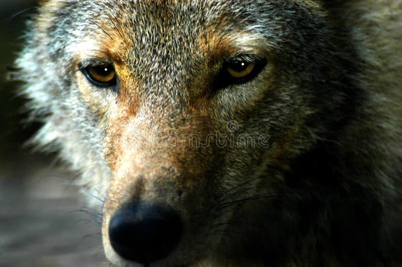 Download Evil Eyes stock image. Image of wolves, stalking, evil - 3002591