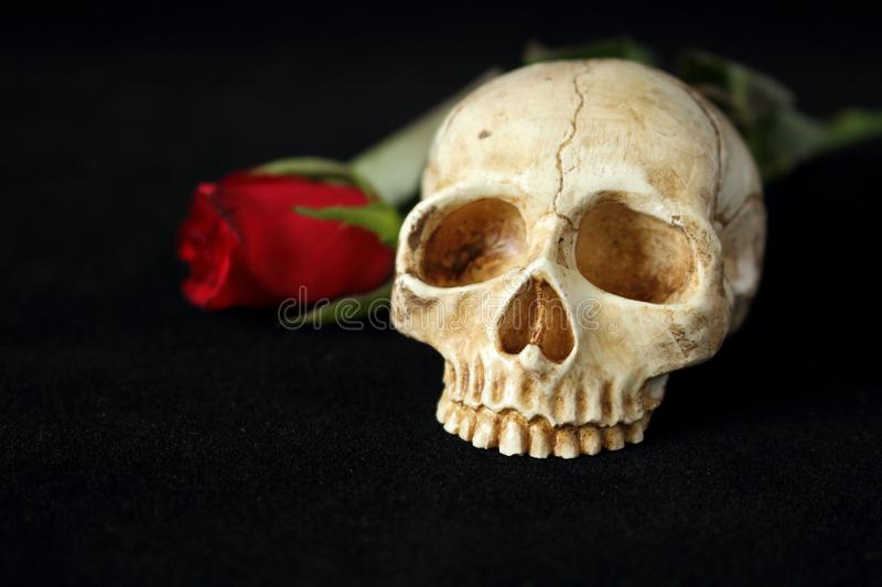 An evil human skull with a red rose in the background and on a black background. Evil human skull with a red rose in the background and on a black background stock photo