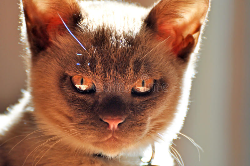 Evil little cat. A cute little cat or should I say kitten has an evil look on his tiny face making him look quite devilish and evil. The kitten in the image is a royalty free stock photography