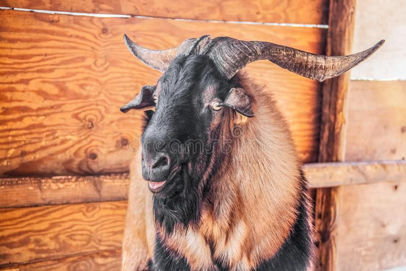 Evil looking male ram goat with large horns looking at camera sideways with mouth open - close-up headshot with rustic shed royalty free stock photos