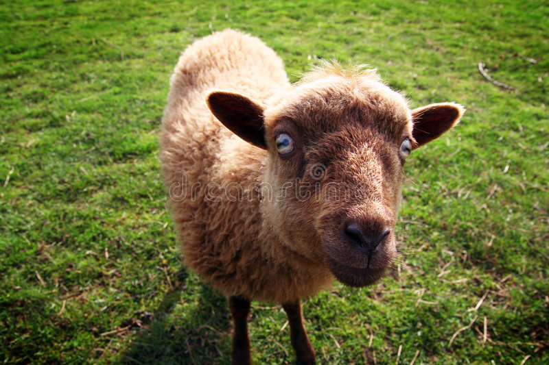 Evil sheep stock images