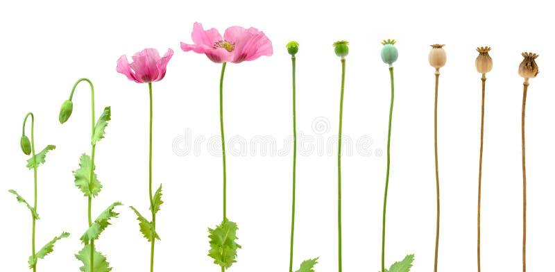 Evolución de la amapola de opio aislada en blanco fotografía de archivo