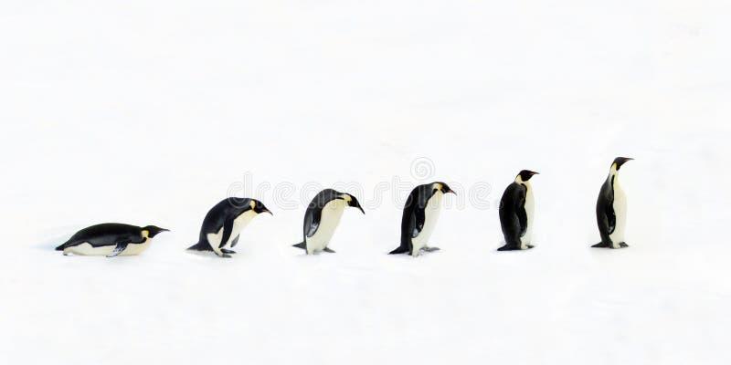 Evolución del pingüino imagen de archivo