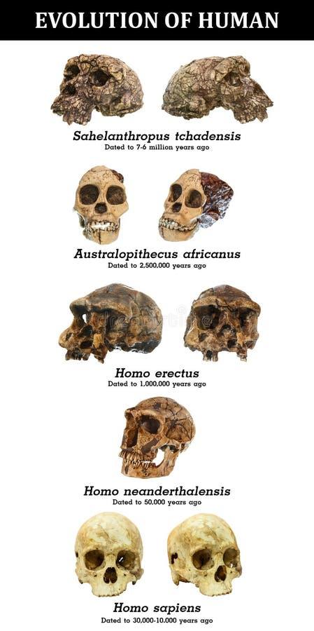 Evolución del tchadensis humano de Sahelanthropus del cráneo Africanus del australopiteco Homo erectus Neanderthalensis del homo  imagen de archivo libre de regalías
