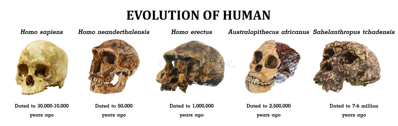 Evolution av den mänskliga skalleSahelanthropus tchadensisen Australopithecusafricanus Homo erectus Homoneanderthalensis Homo sa arkivfoto