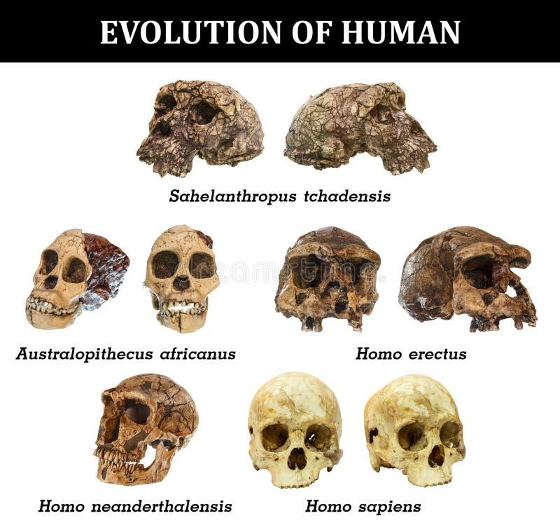 Evolution av den mänskliga skalleSahelanthropus tchadensisen Australopithecusafricanus Homo erectus Homoneanderthalensis Homo sa stock illustrationer