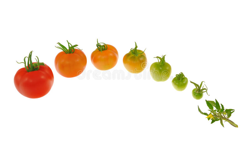 Evolution of red tomato isolated on white stock photography