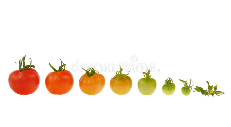 Evolution of red tomato isolated on white backgrou stock photography