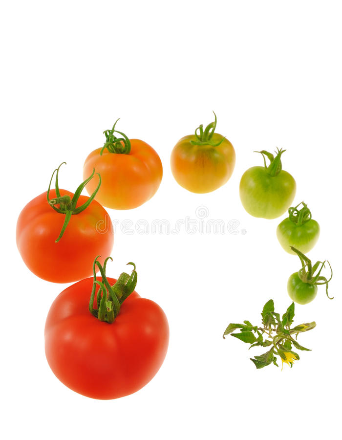 Evolution of red tomato isolated on white backgrou. Nd - growth concept stock image