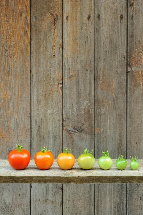 Evolution of red tomato - maturing process of the fruit royalty free stock photos