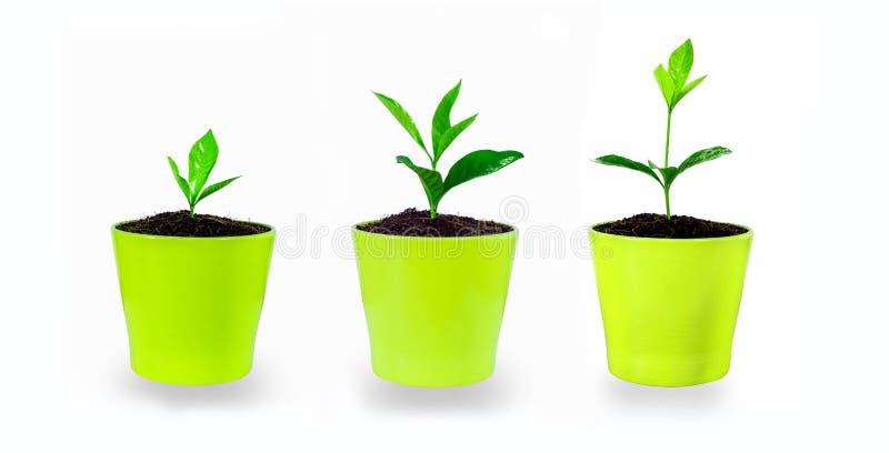 Evoluzione della pianta - piantine che crescono in piccoli vetri, isolati fotografie stock