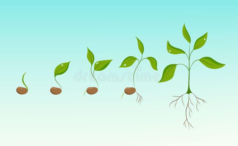 Evoluzione di crescita di pianta dal seme del fagiolo all'alberello illustrazione di stock