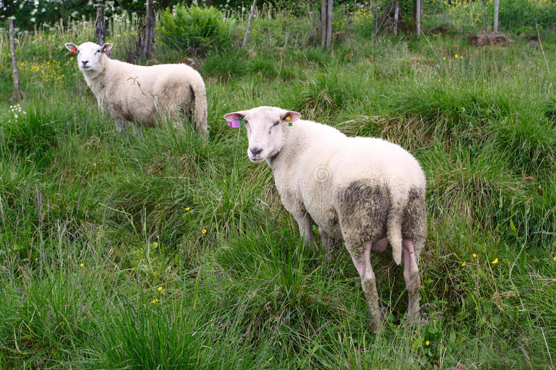 Ewe. Two ewes on a pasture looking at the camera stock photo