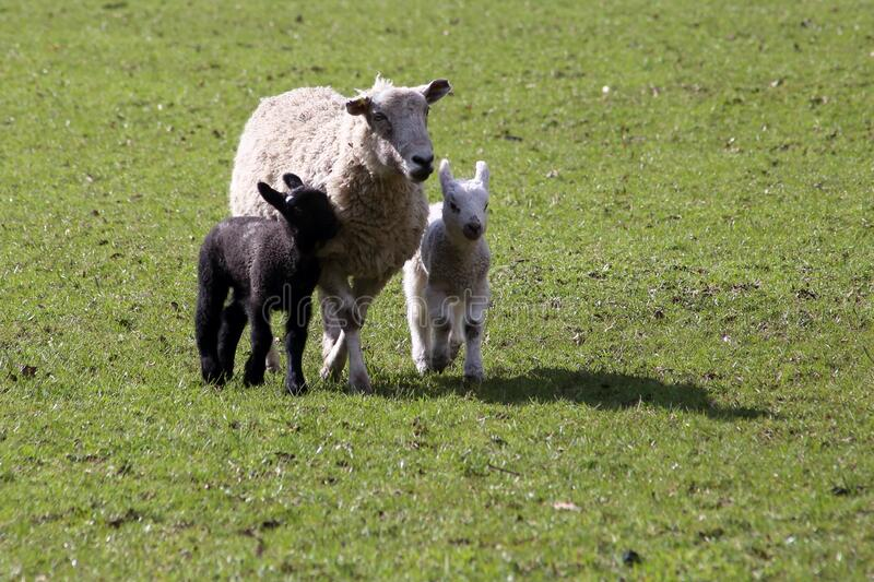 Ewe with black and white lambs. stock photos