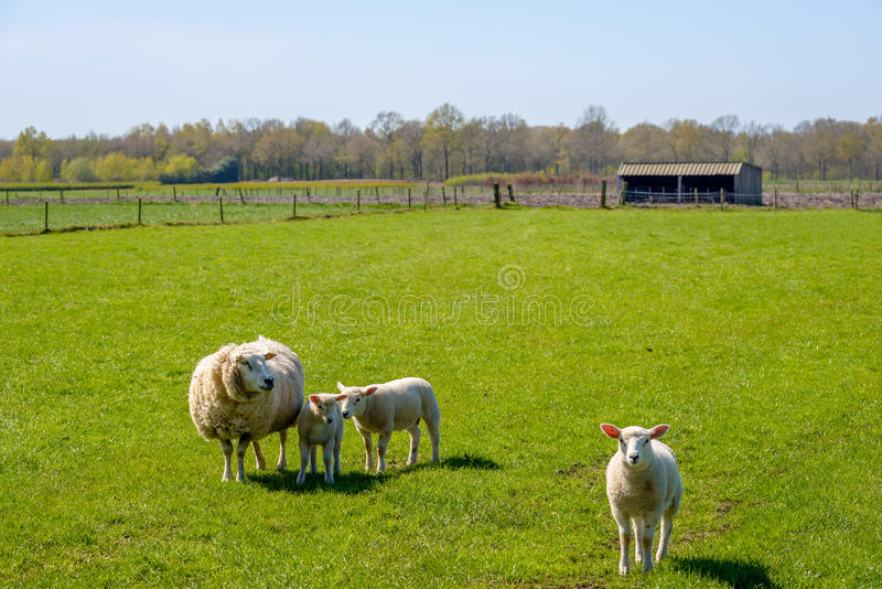 Ewe with her lambs posing in the meadow. Proud mother with a thick winter coat presents her three innocent looking newborn lambs standing on fresh green grass on stock image
