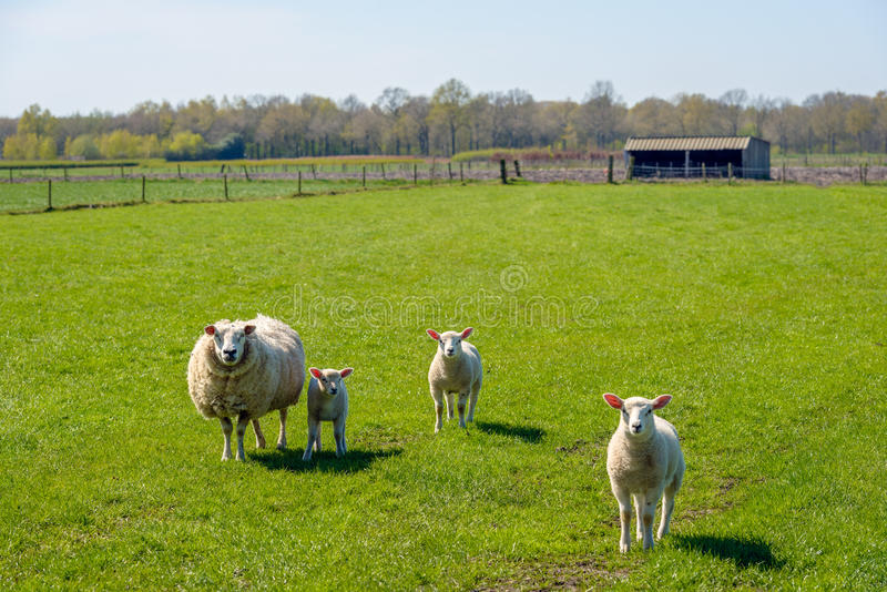 Ewe with her lambs posing in the meadow. Proud mother with a thick winter coat presents her three innocent looking newborn lambs standing on fresh green grass on royalty free stock photo