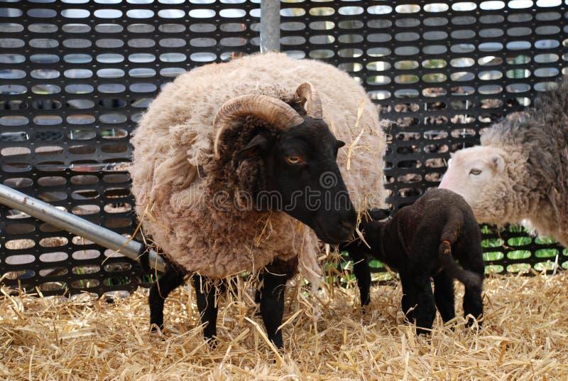 Ewe with lamb royalty free stock photo