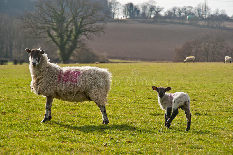 Ewe and lamb. A ewe and her lamb stand side by side in a field at dusk royalty free stock image