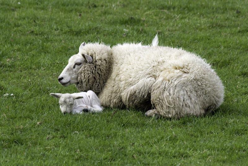 Download Ewe and lamb stock photo. Image of animal, wool, lamb - 6130460