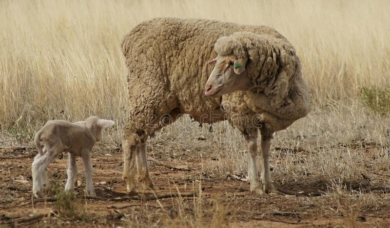 Ewe and Lamb in the Drought. Ewe and lamb suffering in the drought. Barely enough energy to walk. No water. Predators preying on them. Tiny little lambs royalty free stock photos