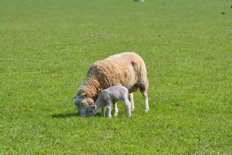 Ewe and lamb grazing in field. English pastoral scene of sheep and her lamb contententedly grazing in an English field royalty free stock image