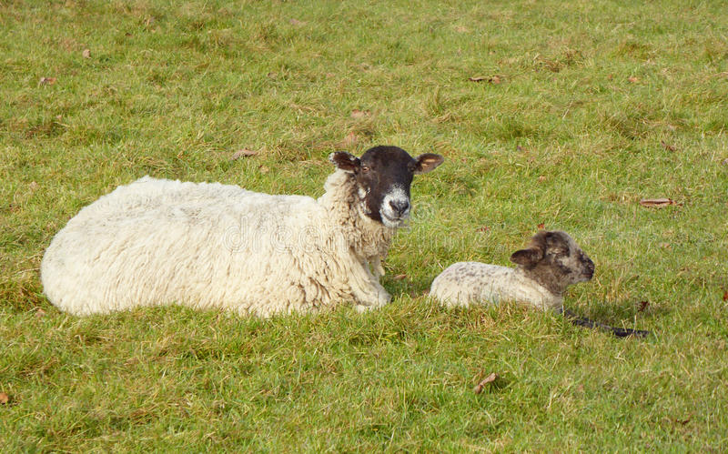 Ewe and lamb resting in field stock photos