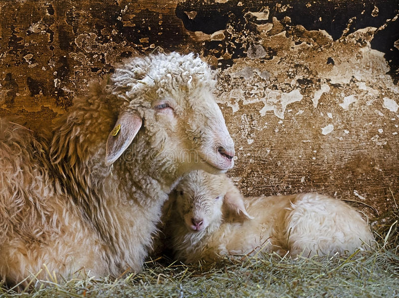 Ewe with lamb. In the stable royalty free stock photography