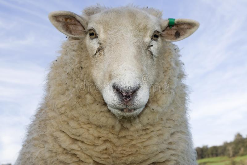 Ewe looking at me Portrait. A sheep looking into the camera close up stock photos