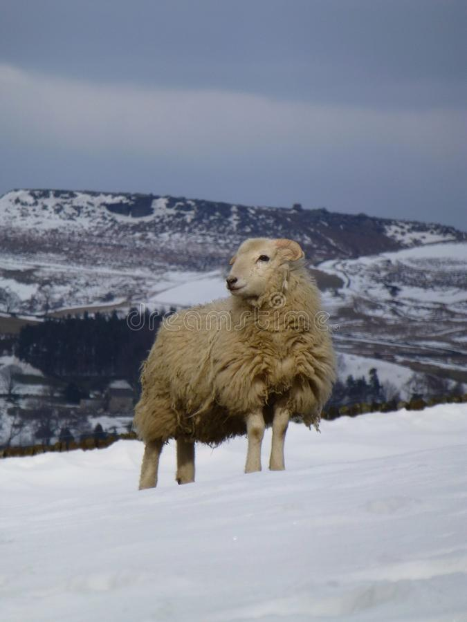 A ewe looking out royalty free stock image