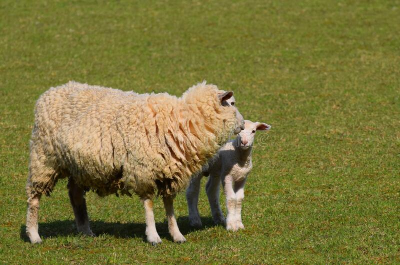 A ewe and a new Spring lamb royalty free stock image